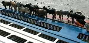 Os bois que foram considerados culpados de um naufrágio